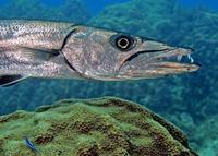 Image of: Sphyraena barracuda (great barracuda)