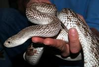 Image of: Pituophis melanoleucus (pine snake)