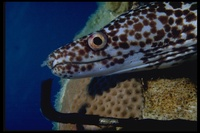 : Gymnothorax moringa; Spotted Moray Eel