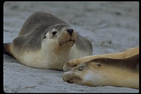 : Neophoca cinerea; Australian Sea Lion