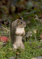 : Sciurus sp.; Tree Squirrels