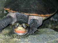 : Emydura australis; Australian Big-headed Side-necked Turtle