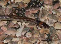 : Furina ornata; Orange-naped Snake