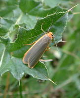 Eilema complana - Scarce Footman