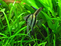 Pterophyllum scalare, Freshwater angelfish: fisheries, aquarium