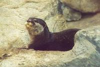 Image of: Aonyx cinerea (Oriental small-clawed otter)