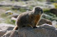 Image of: Marmota flaviventris (yellow-bellied marmot)
