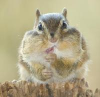 Image of: Tamias striatus (eastern chipmunk)
