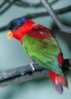 Lorius domicellus - Purple-naped Lory
