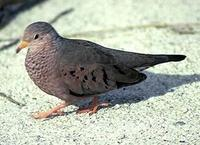 Image of: Columbina passerina (common ground-dove)