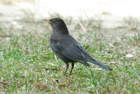 Image of: Turdus merula (common blackbird)