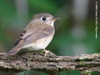 Brown-breasted Flycatcher - Muscicapa muttui