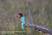 White-throated Kingfisher - Halcyon smyrnensis