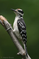 : Picoides villosus; Hairy Woodpecker