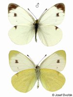 Pieris mannii - Southern Small White