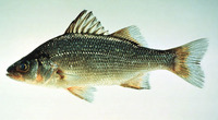 Morone americana, White perch: fisheries, gamefish, aquarium