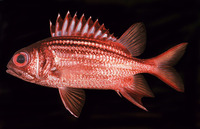 Sargocentron praslin, Dark-striped squirrelfish: fisheries