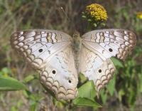 Image of: Anartia jatrophae (white peacock)