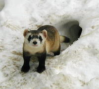Mustela nigripes - Black-footed Ferret