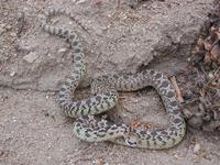 Image of: Pituophis catenifer (gopher snake)