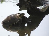 Lissemys punctata - Indian Soft-shelled Turtle