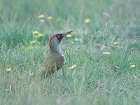 European Green Woodpecker (Picus viridis) photo
