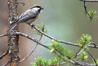 Gray-headed Chickadee - Poecile cincta