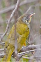 Yellow-throated Honeyeater - Lichenostomus flavicollis