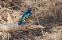 Superb Starling - Lamprotornis superbus