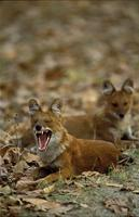 Wild Dog or Dhole Yawning