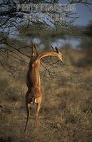 Gerenuk standing on its hind legs to browse , Litocranius walleri , Samburu National Reserve , K...