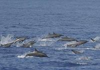 ...Pan-tropical spotted dolphins and Spinner dolphins in mixed groups numbering in the thousands, k
