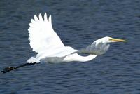 Great Egret in flight.a.jpg (39684 bytes)