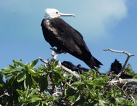 : Fregata minor palmerstoni; Great Frigatebird Female