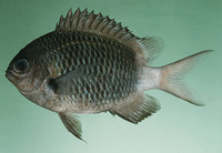 Chromis chrysura, Stout chromis: