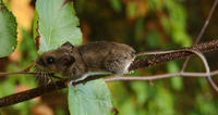 Image of: Peromyscus maniculatus (deer mouse)