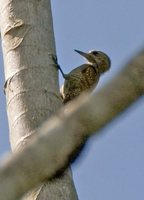 Little Woodpecker - Veniliornis passerinus