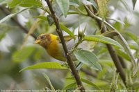 Rufous-headed Tanager - Hemithraupis ruficapilla