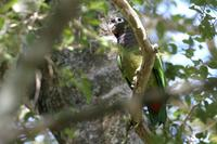 Scaly-headed  parrot   -   Pionus  maximiliani   -   Pappagallo  testasquamata