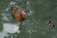 Black Bellied Whistling Duck and Ducklings