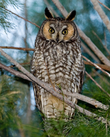 : Asio otus; Long-eared Owl