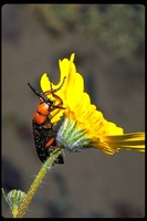 : Lytta sp.; Blister Beetle
