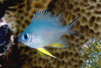 Amblyglyphidodon leucogaster, Yellowbelly damselfish: fisheries, aquarium