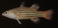 Liopropoma susumi, Meteor perch: