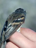 Image of: Myiophobus fasciatus (bran-coloured flycatcher)