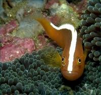 Image of: Amphiprion sandaracinos (orange anemonefish), Stichodactyla mertensii