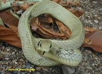 Image of: Spilotes pullatus (tropical rat snake)