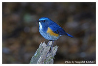 Orange-flanked Bush Robin - Tarsiger cyanurus