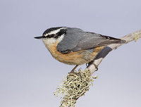 Red-breasted Nuthatch (Sitta canadensis) photo
