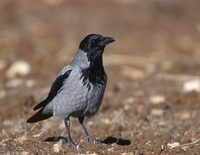 Hooded Crow (Corvus cornix) photo